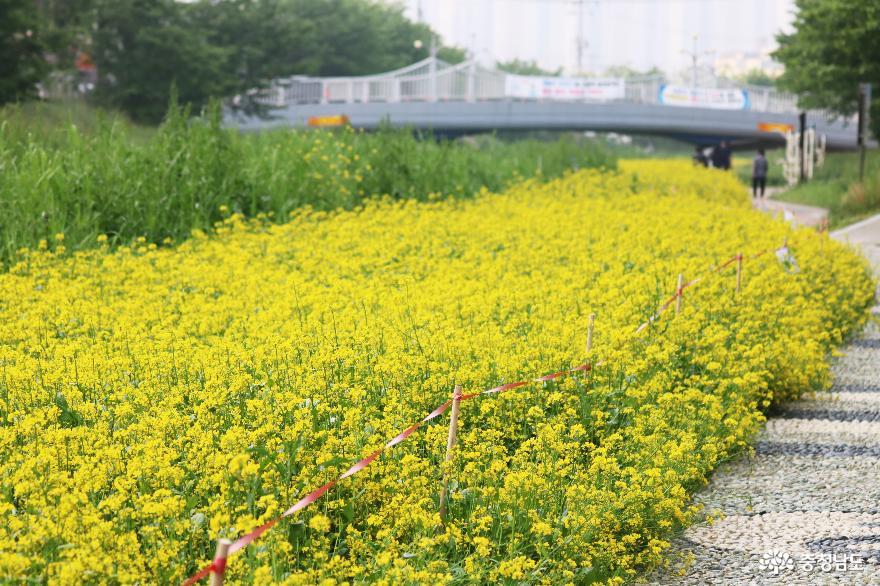 늦봄에 만난 천안 원성천변의 노란 유채꽃 물결