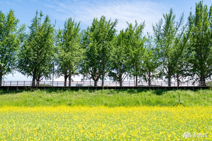 유채꽃과 은행나무길