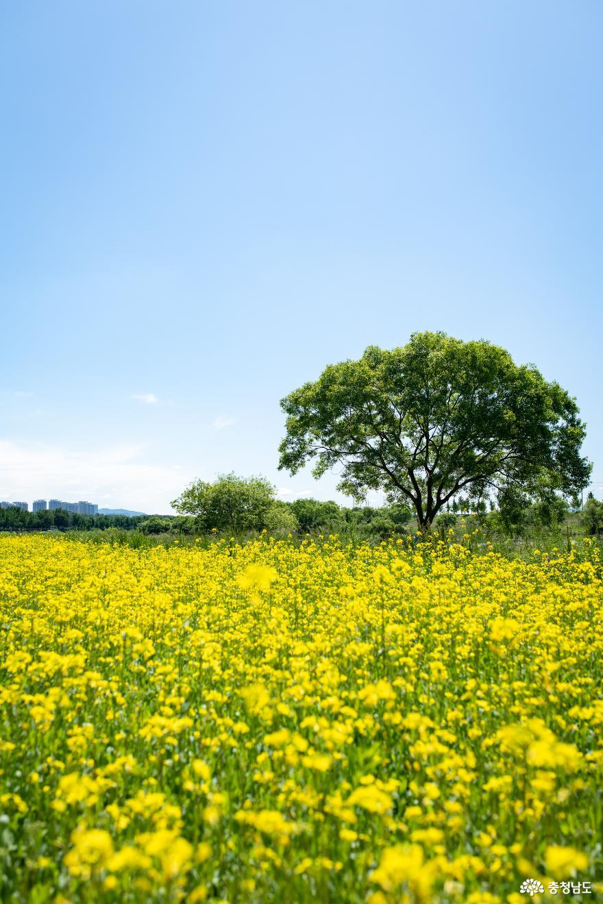 곡교천 왕따나무