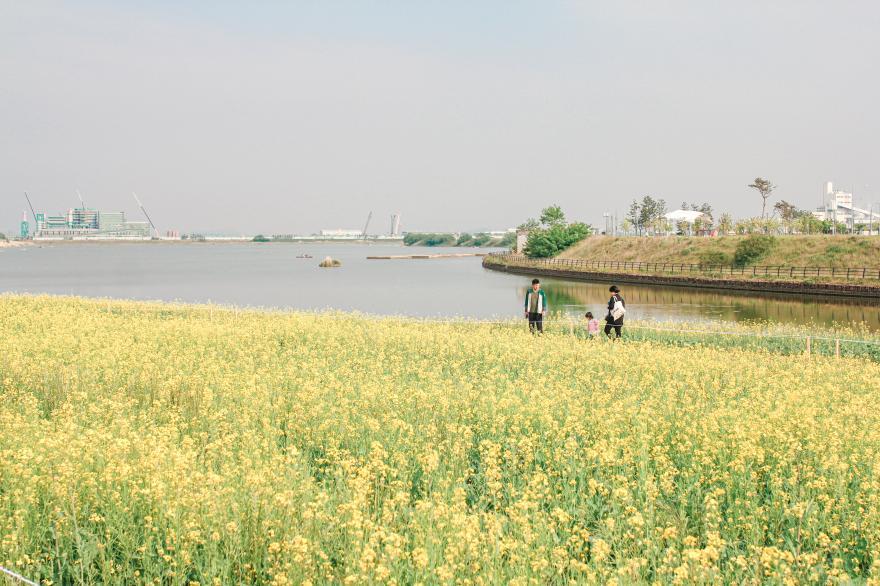 바다 앞 유채꽃밭