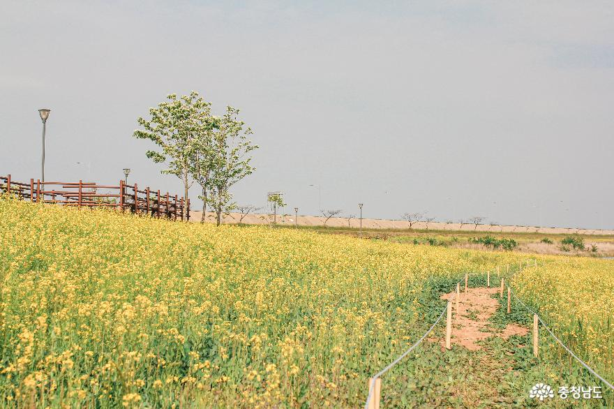 당진 석문방조제 유채꽃밭 3