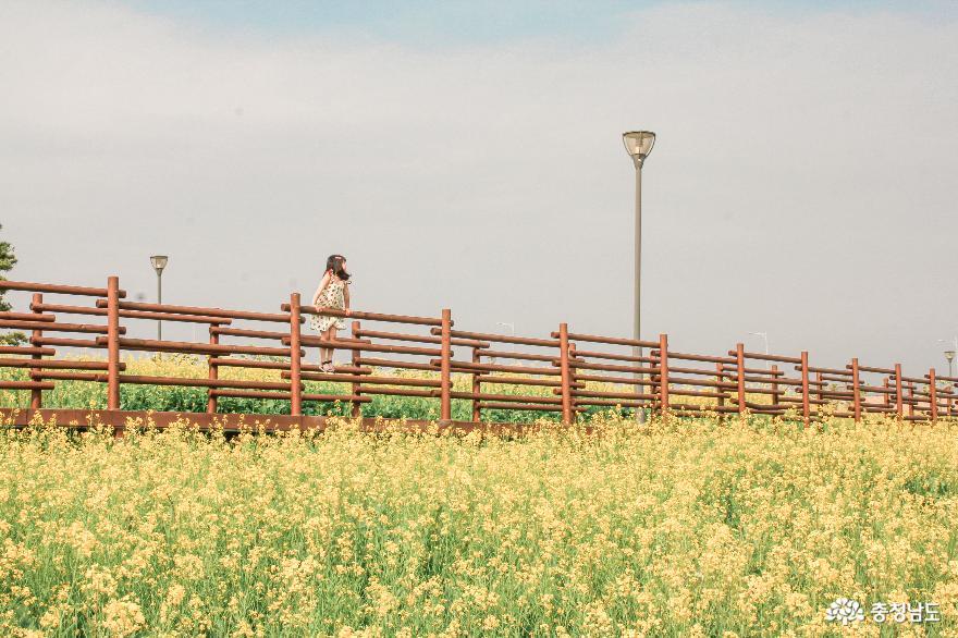 당진 석문방조제 유채꽃밭 6