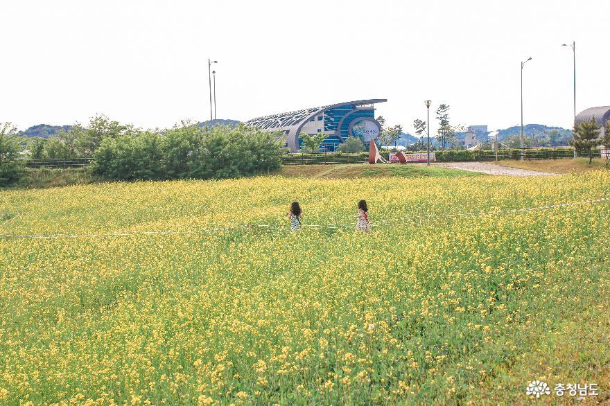 당진 석문방조제 유채꽃밭