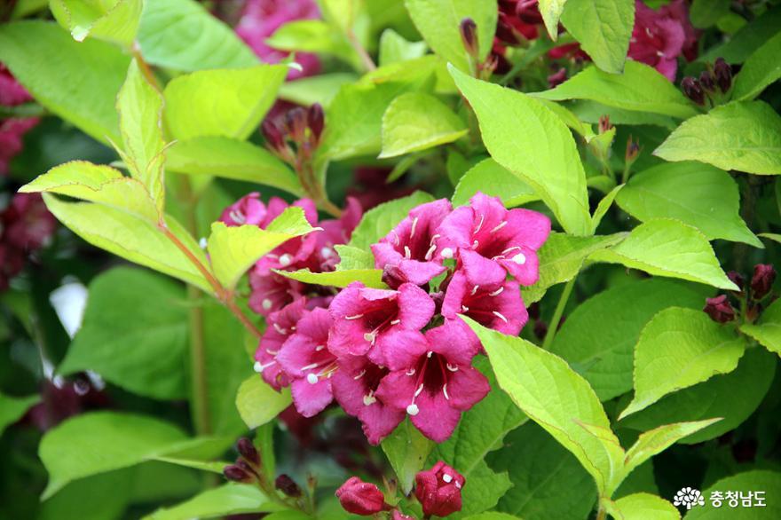 황금잎병꽃