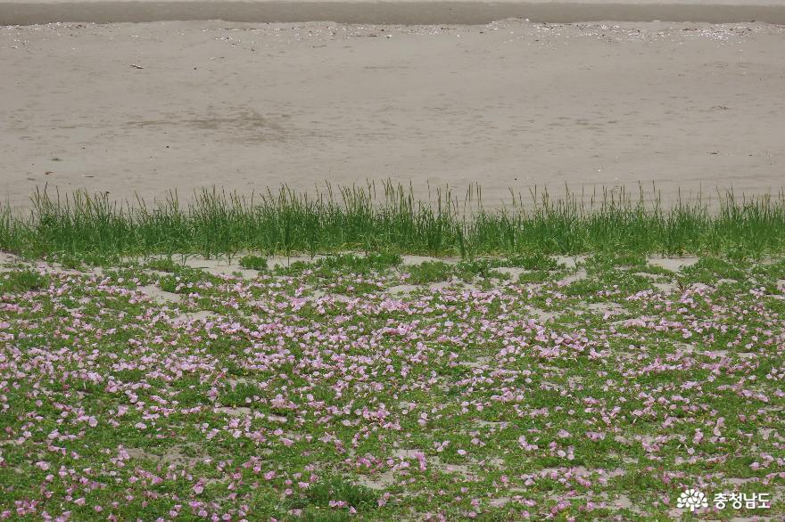 소황사구 5월 염생식물꽃 - 해당화, 모래지치, 갯메꽃