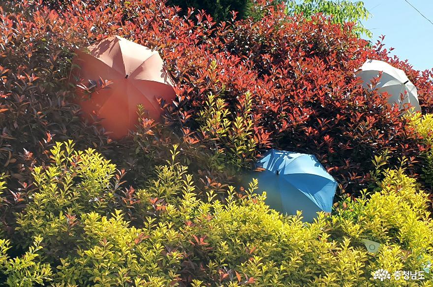 봄에 느끼는 적추(赤秋) 청산수목원 홍가시나무