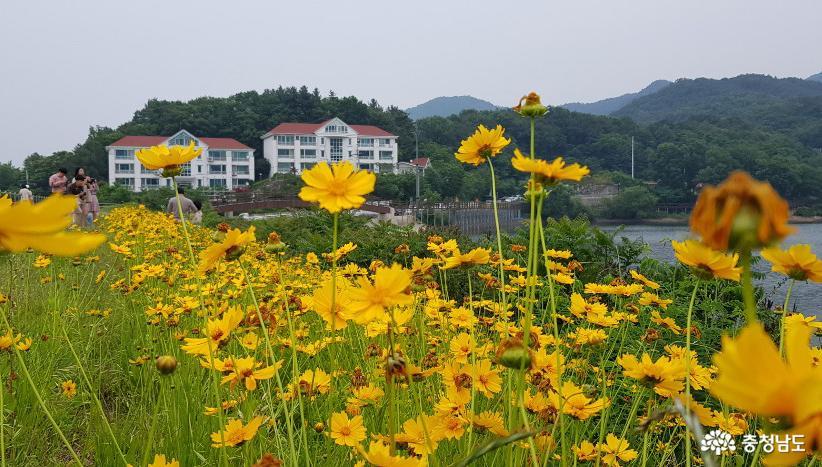 천안 천흥저수지 제방에 피어난 금계국 1.
