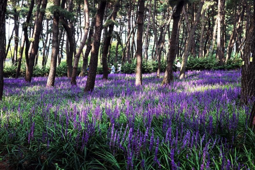 꽃과 소나무, 억새와 갯벌이 한 곳에… 장항 '해찬솔길'