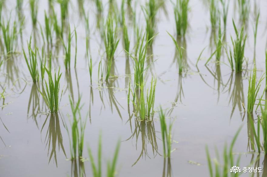 건강한 밥상의 힘, 천안시 2020년 친환경쌀 우렁이 방사식 2
