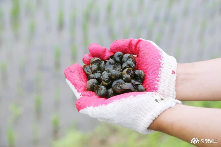 건강한 밥상의 힘, 천안시 2020년 친환경쌀 우렁이 방사식 5