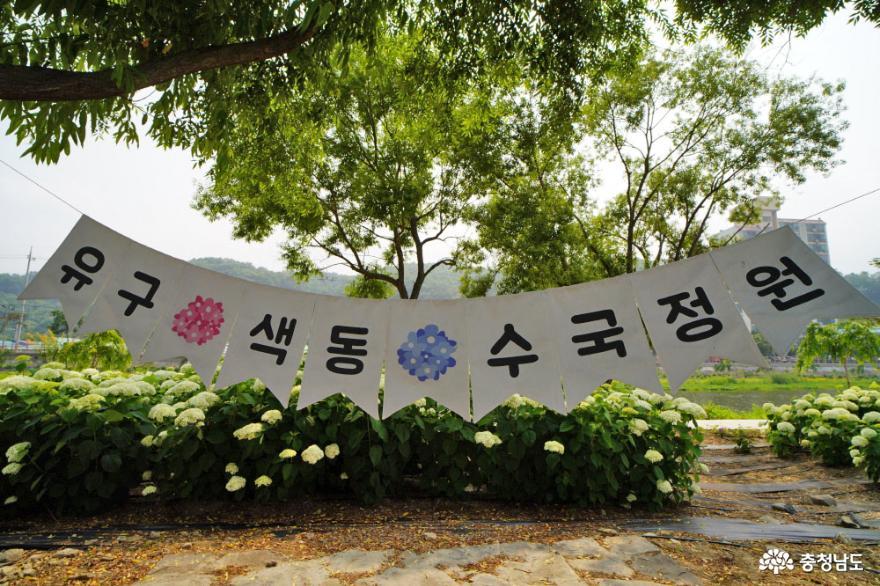 예쁜 수국이 장관인 공주 유구색동수국정원