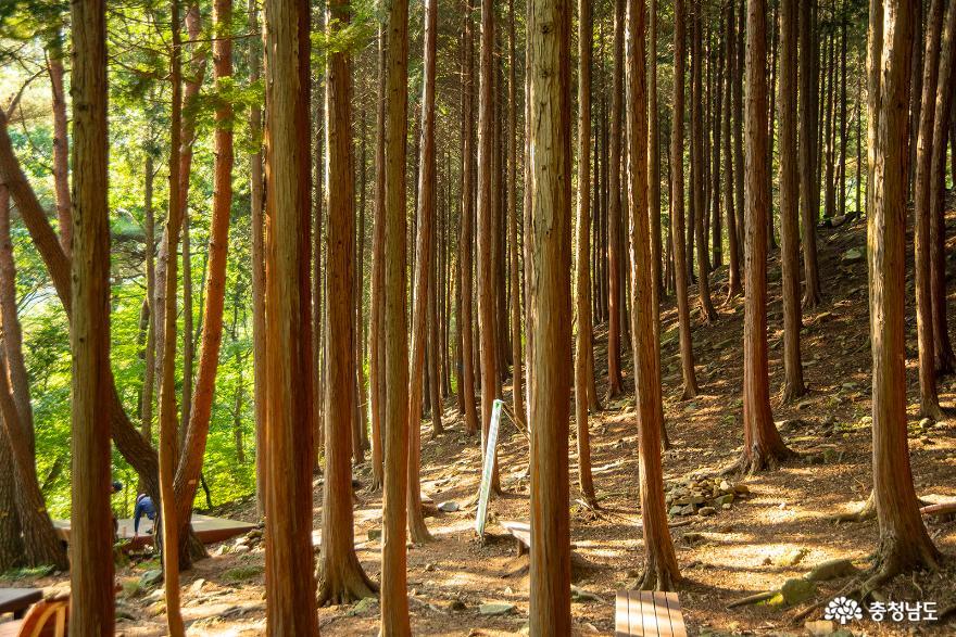 편백나무숲에서의 편안한 휴식, 보령 성주산자연휴양림 4