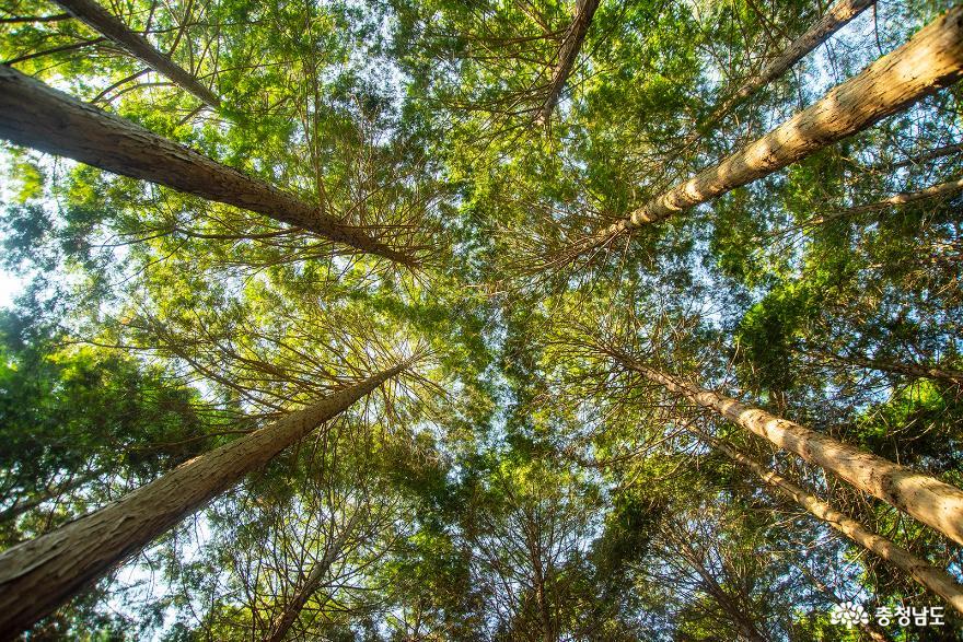 편백나무숲에서의 편안한 휴식, 보령 성주산자연휴양림 5