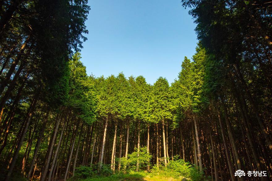 편백나무숲에서의 편안한 휴식, 보령 성주산자연휴양림 9