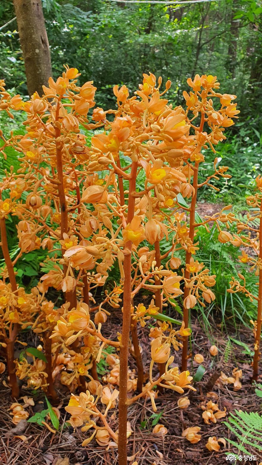 멸종위기 희귀식물 으름난초 꽃 '만개'