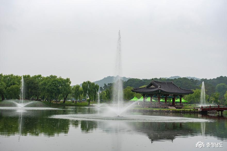 절정을 이룬 부여 궁남지 연꽃 사진