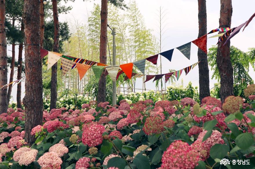고운 색감의 꽃 수국, 유구천을 물들이다 3