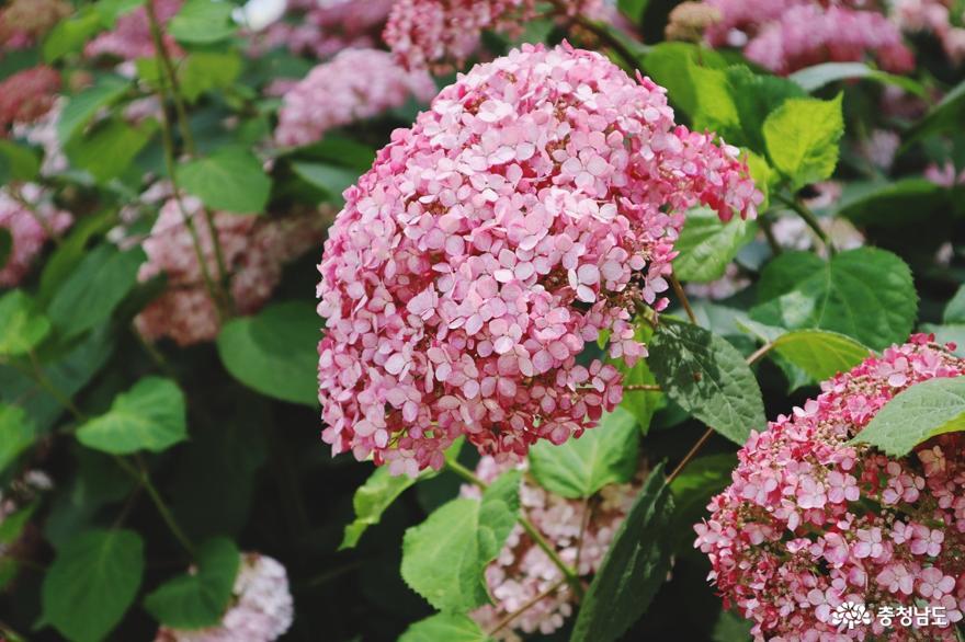 고운 색감의 꽃 수국, 유구천을 물들이다 4