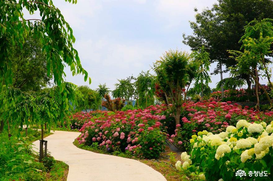 고운 색감의 꽃 수국, 유구천을 물들이다 5