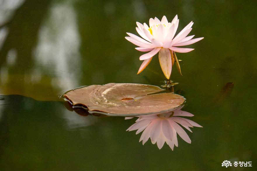 절정을 이룬 부여 궁남지 연꽃