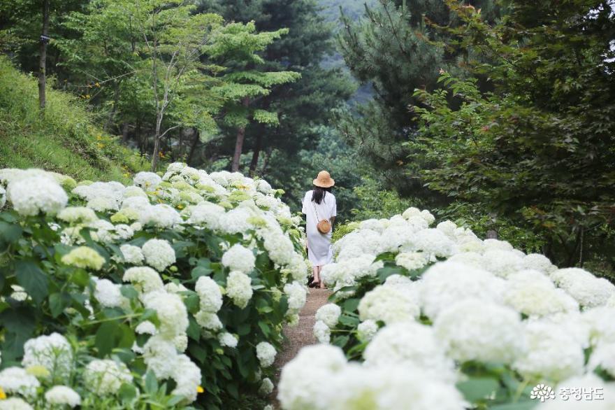 흰수국이 만발한 당진 삼선산수목원 인생샷 찍어보세요!