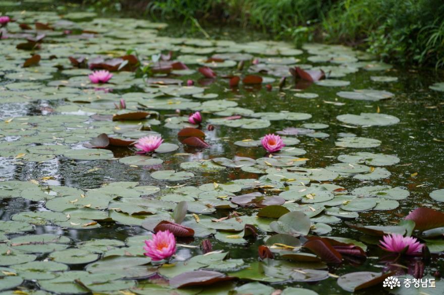 알록달록 연꽃으로 물든 부여 궁남지 사진