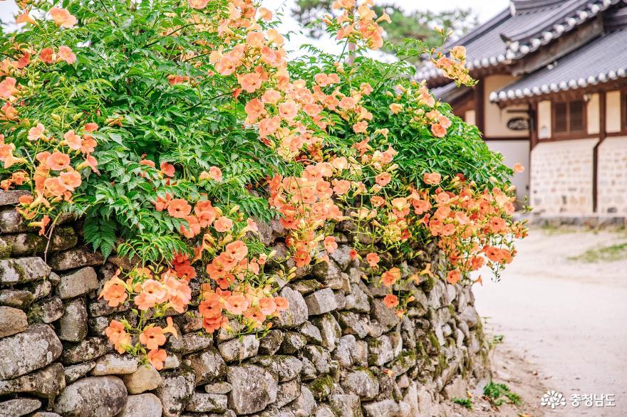 연꽃, 능소화 피는 여름 외암민속마을