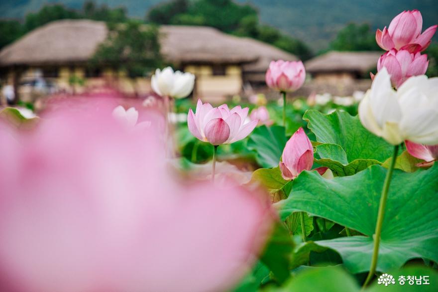 연꽃, 능소화 피는 여름 외암민속마을 5