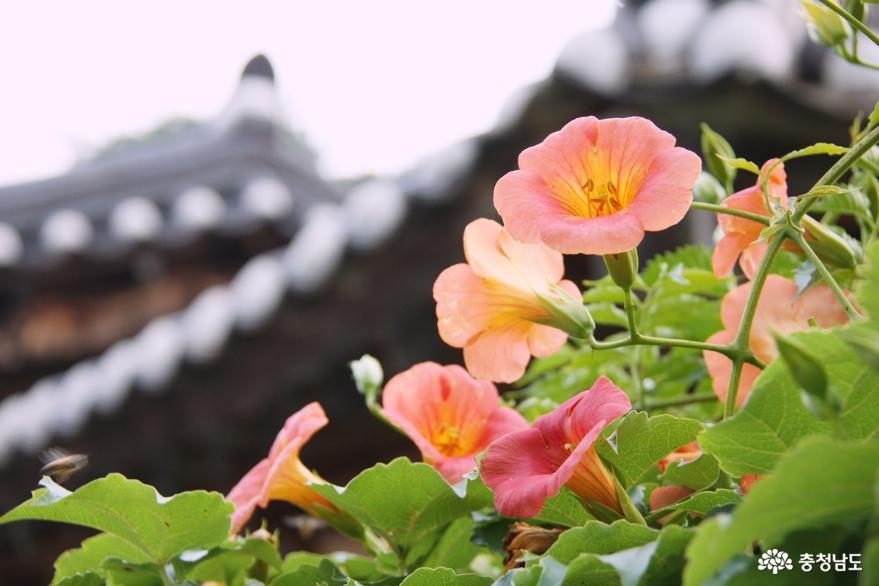 능소화 고운 자태 뽐내는 아산외암민속마을