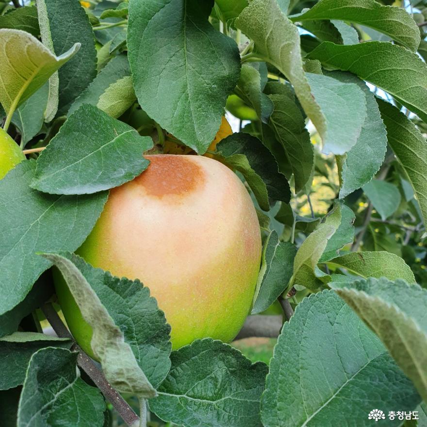장마 후 폭염, 사과 햇볕 뎀 피해 주의