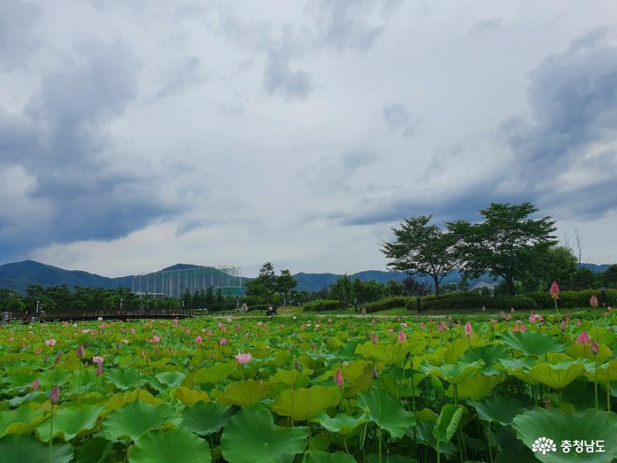 아산 신정호에 가득한 연꽃의 향연 사진