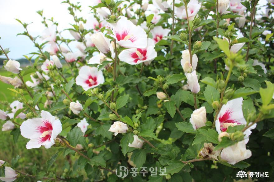 홍북읍에 탐스럽게 피어난 민족의 꽃 무궁화