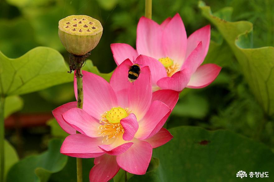 작지만 예쁜 정원과 연꽃이 있는 천안 자연누리성