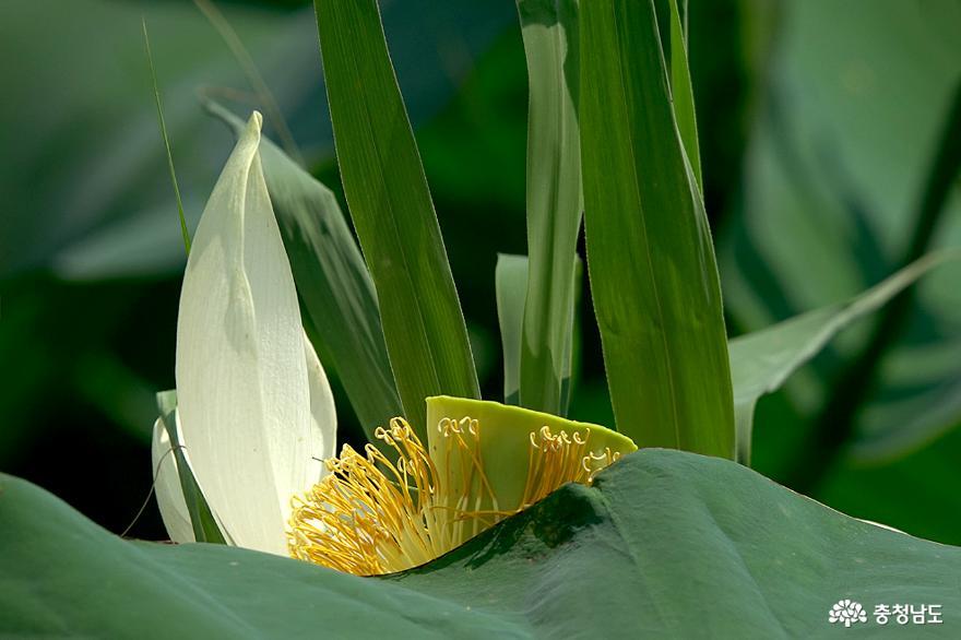 금강의 공주에서 연꽃을 만나다 사진