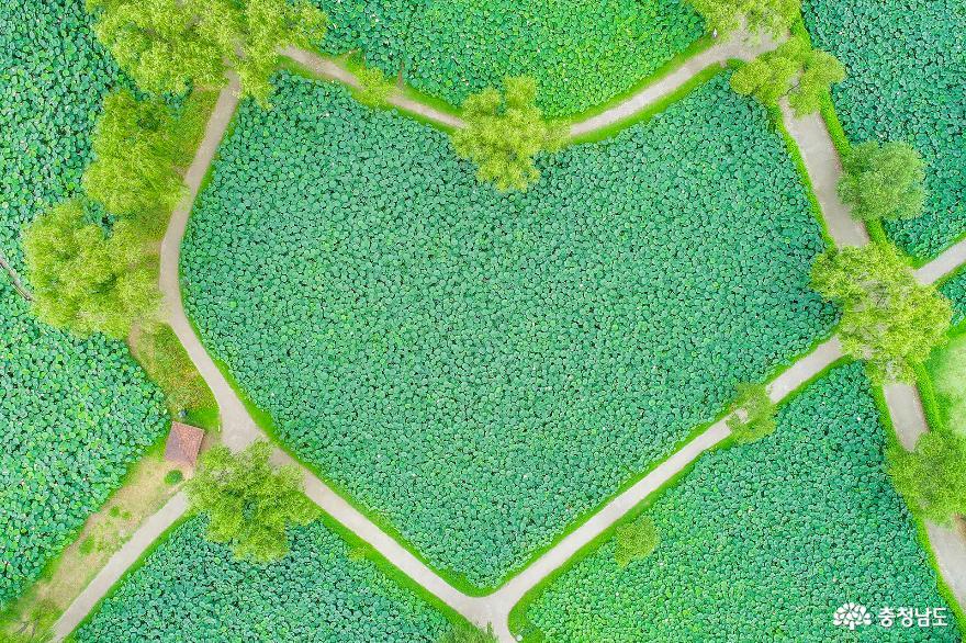 하트모양의 연밭 길