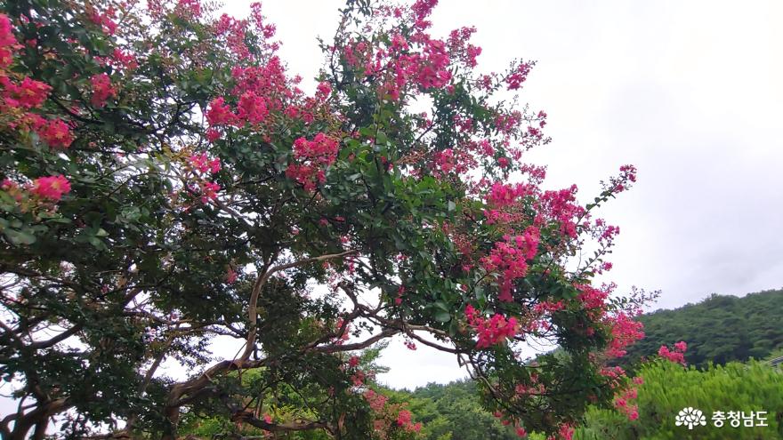 송불암 배롱나무