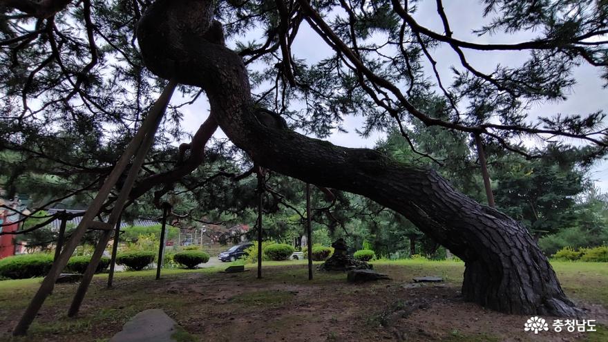 수령 250년의 송불암 왕소나무