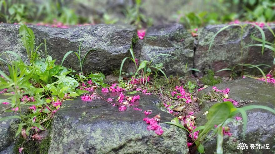 돌계단에 떨어진 배롱나무 꽃잎