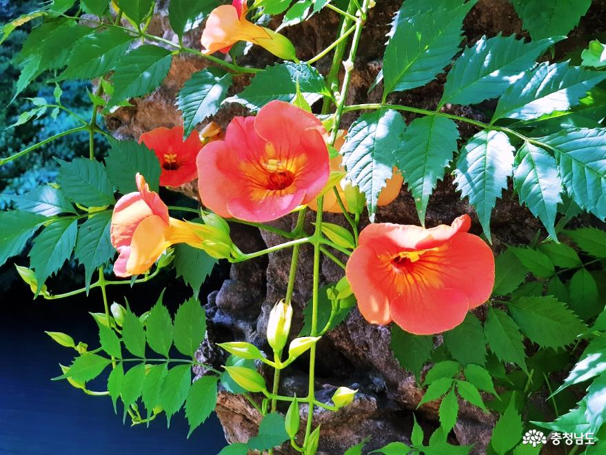 싱그러운 여름의 에너지가 가득한 연꽃 군락지! 사진