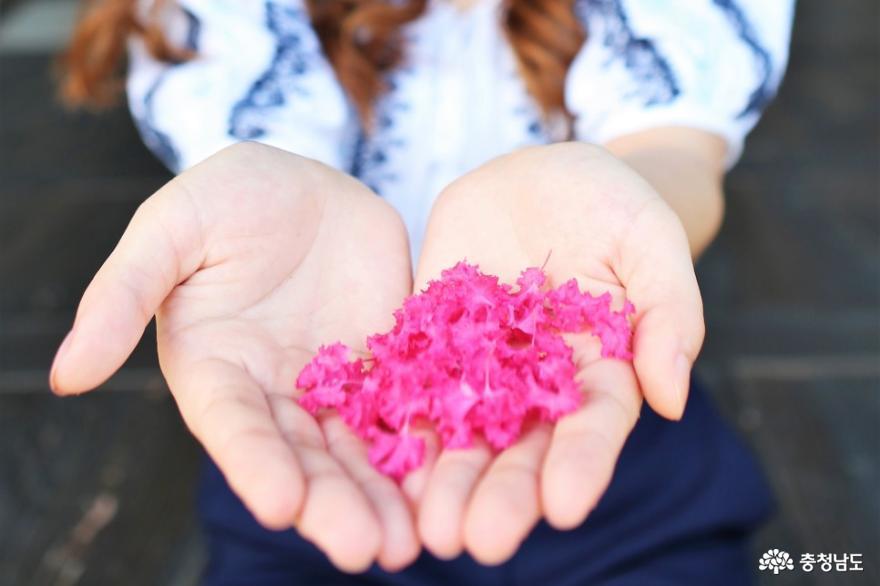 논산의 배롱나무꽃 촬영지를 소개합니다 사진
