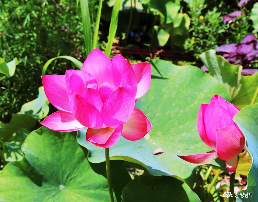 싱그러운 여름의 에너지가 가득한 연꽃 군락지!