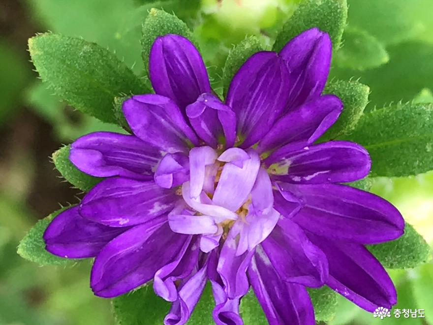 향기당에 피어 있는 보라색과꽃