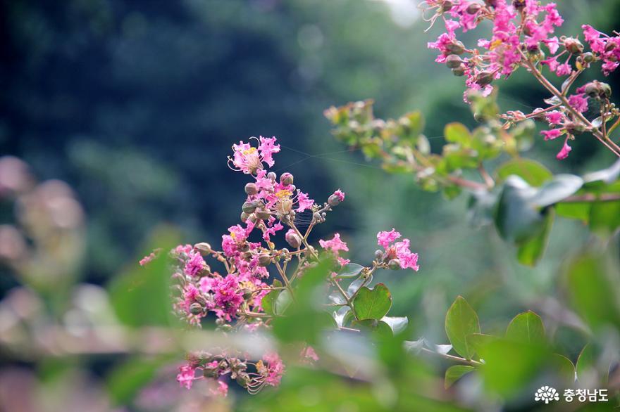 배롱나무 꽃
