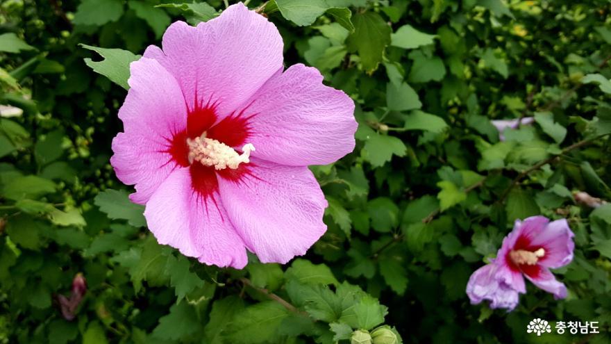 은근과 근기의 꽃 무궁화