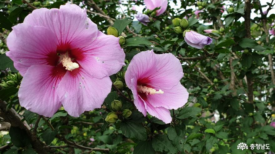아름다운 꽃 무궁화