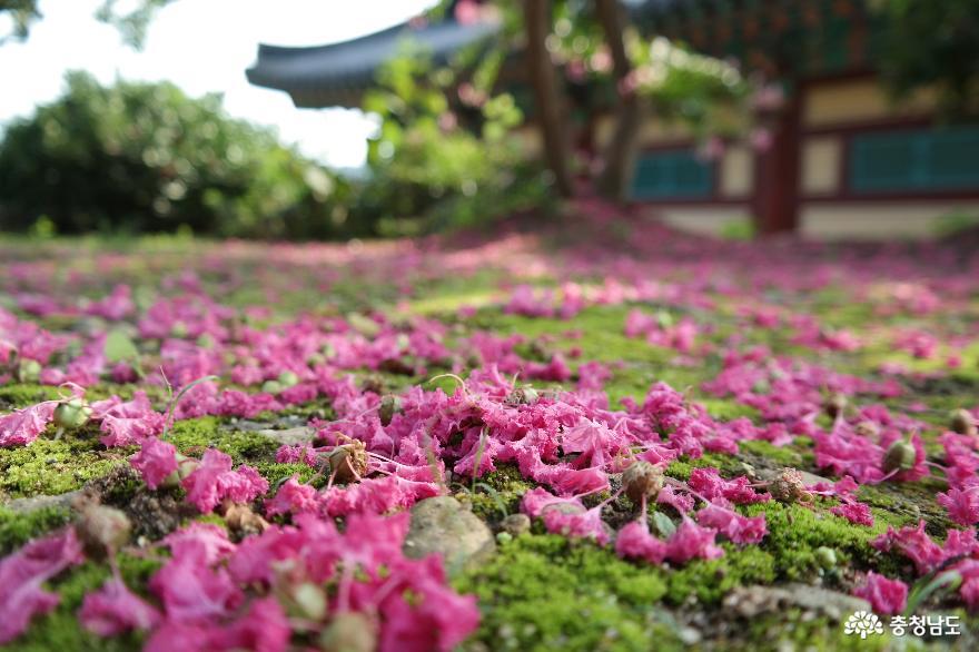 바닥을붉게 물들인 배롱나무 꽃잎