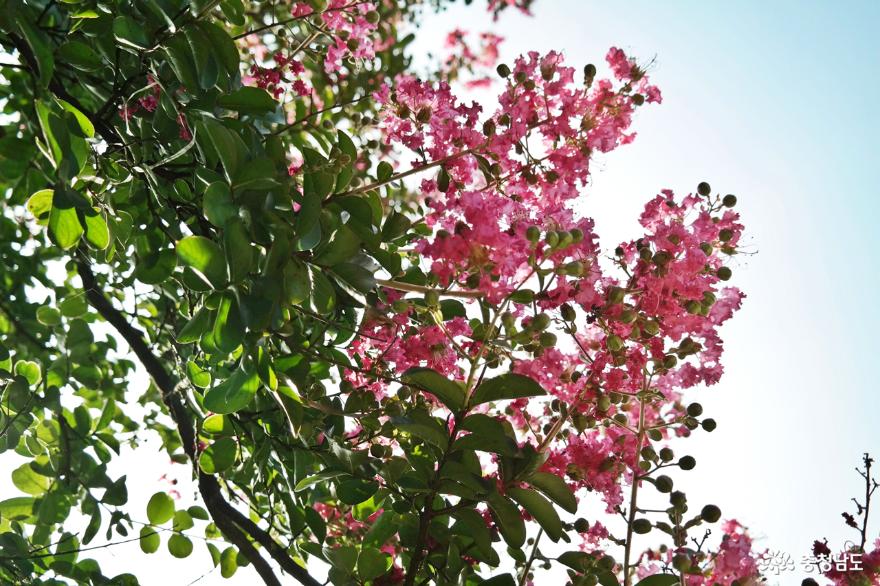 붉은빛이 화사한 배롱나무 꽃