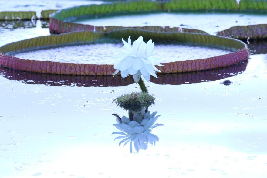 궁남지 연꽃의 하이라이트, 빅토리아 연 만개