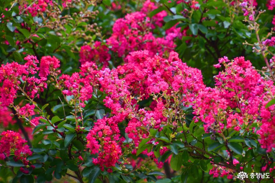 배롱나무꽃이 피어 더 아름다운 개심사