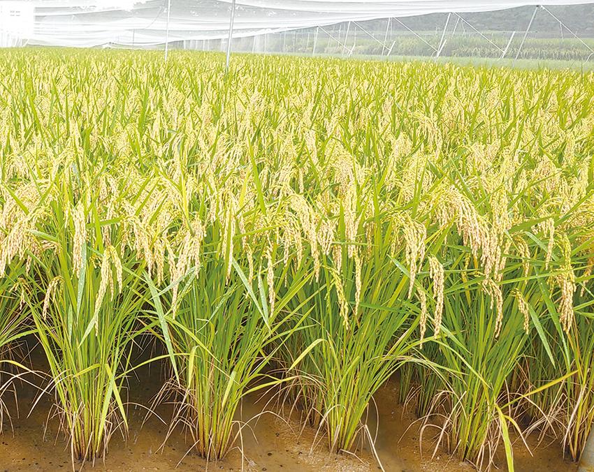 충남쌀 신품종 '여르미' 첫수확